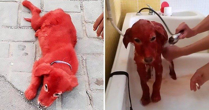 Щенка покрасили в красный цвет и продали как игрушку